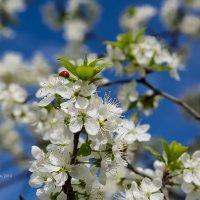Божья коровка на ветке вишни :: Александр Синдерёв