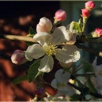 Цветущая яблонька. :: Елена Kазак