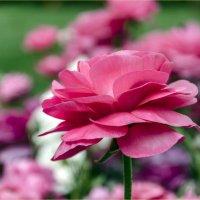 Двойной тюльпан (Tulipa Double Early) :: Georgy Kalyakin