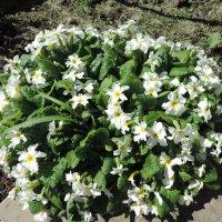 Примула обыкновенная, или бесстебельная (Primula vulgaris) :: alexeevairina .