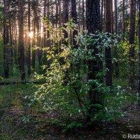 Черемуха в сосновом лесу :: Сергей