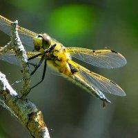 Природный вертолёт :: Милешкин Владимир Алексеевич