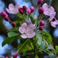 Цветущих яблонь волшебство... :: Ольга Русанова (olg-rusanowa2010)