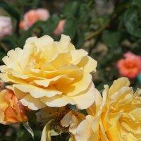 Солнечные крымские розы :: Наталия Григорьева