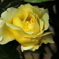 Портрет желтой красавицы :: Светлана