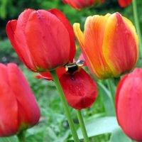 Тюльпаны :: SaGa