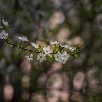 Майский цвет... :: Александр Попович