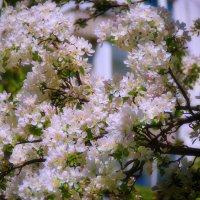 Чудо цветения :: Наталья Лакомова
