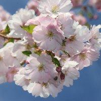Сакура цветет :: Наталья Герасимова