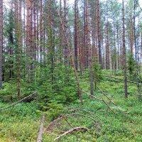 Валдайский лес :: Галина Каюмова