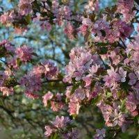 Великие Луки, сады цветут, 11 мая... :: Владимир Павлов