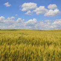Пшеничное поле. :: Виктор