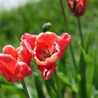 Красные тюльпаны :: Наталья Булыгина (NMK)