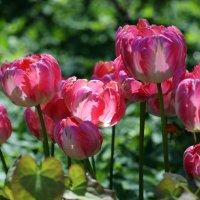 Тюльпаны :: Наталья Булыгина (NMK)