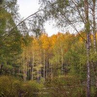 Весенние березы в лучах заката :: Александр Попович