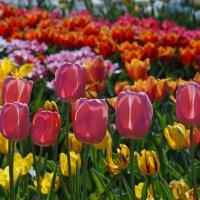 Тюльпаны :: Анна Васильева (Anna-82V)