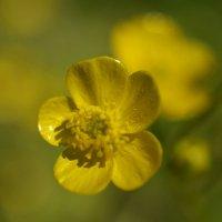 Лютики-цветочки :: Тамара
