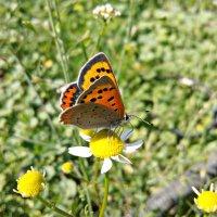 Бабочка на ромашке :: Татьяна Королёва