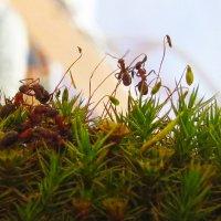 мир муравьев :: ИРЭН@ Комарова