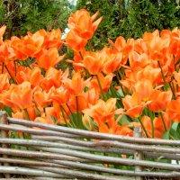 Весна - пора тюльпанов. :: ТаБу