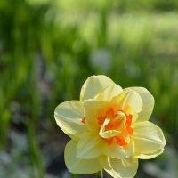 еще майский цветок :: Наталия П