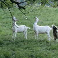 О козах и овцах ... :: Алёна Савина