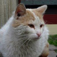 портрет кота :: Лидия Суюрова