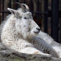 Снежная коза :: Владимир Шадрин
