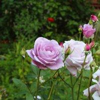 Розовые розы :: Вячеслав & Алёна Макаренины