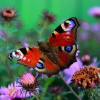 Бабочка :: Сергей