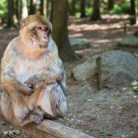 Affenberg Salem, где много диких обезьян :: Viktor Schwindt