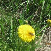 Одуванчик и пчела :: Smit Maikl