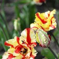 Разноцветье тюльпанное :: Тамара Бедай