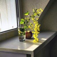 Ветка жёлтой акации в лучах рассвета ... :: Сергей Козырев