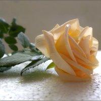 О! влага живительна, чайная роза... :: Людмила Богданова (Скачко)