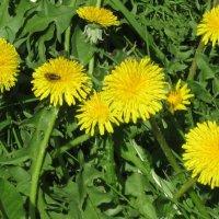 Пчёлка на цветке :: Дмитрий Никитин