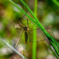 Вот такие комары. :: Владимир M