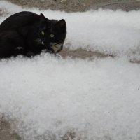 Жизнь в пуху - купание чёрного кота!!!... :: Алекс Аро Аро