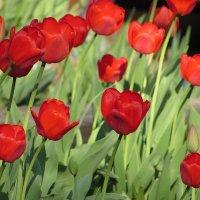Тюльпановая акварель :: Валюша Черкасова