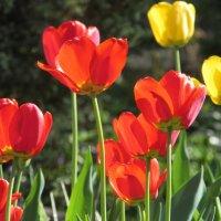 Майские тюльпаны. :: Валюша Черкасова