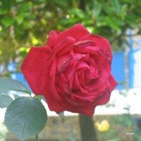 Красная роза :: Алексей Ефимов