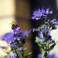 Кариоптерс с пчелкой :: Татьяна Ларионова