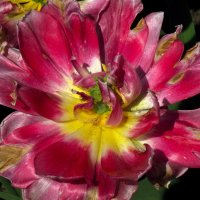 Тюльпановая радуга :: Nikolay Monahov