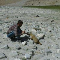 Гималайский мармот :: Evgeni Pa