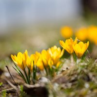 Жёлтые крокусы :: Александр Синдерёв