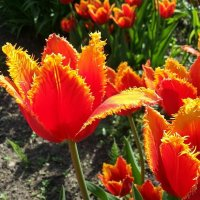 Когда цветут тюльпаны :: Наталья Владимировна