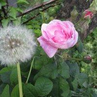 "Брачная пара: одуванчик и роза""!!!... :: Алекс Аро Аро"