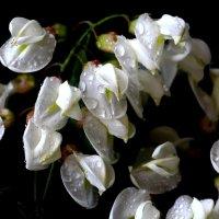 Robinia pseudoacacia :: Dr. Olver ( ОлегЪ )