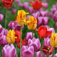 Майские тюльпаны :: НАТАЛИ natali-t8