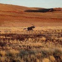 Одинокий орикс пустыни Намиб :: Tatiana Belyatskaya